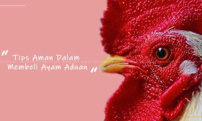 Tips Aman Dalam Membeli Ayam Aduan