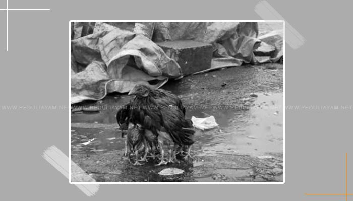Tips Perawatan Ayam Aduan Pada Musim Hujan