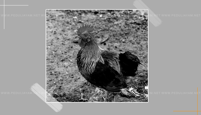 Ayam Aduan Ekor Pendek