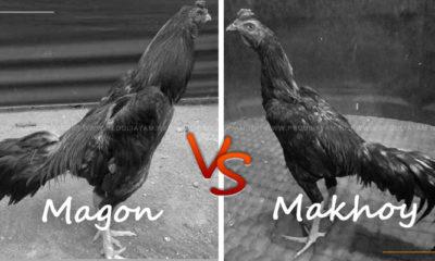 Ayam Magon Lawan Ayam Makhoy