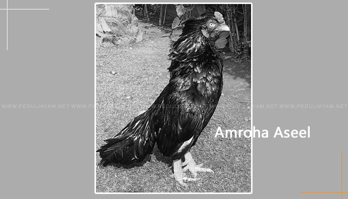 Amroha Aseel