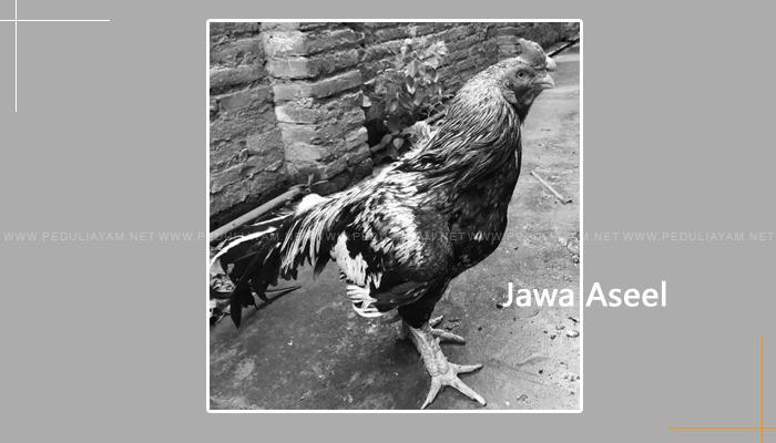 Jawa Aseel