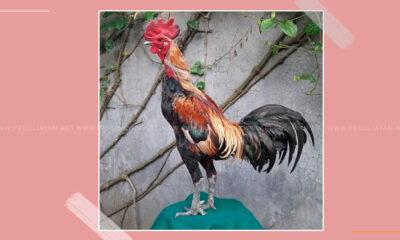 Mengenal-Ayam-Pamagon