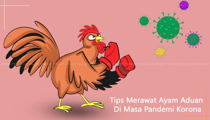 Tips Merawat Ayam Aduan Di Masa Pandemi Korona