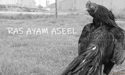 Mengenal Ayam Aduan Aseel Serta Jenisnya