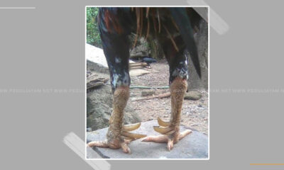 Kelebihan Dan Kekurangan Dari Ayam Dengan Katuranggan Trisula