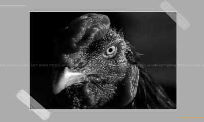 Perawatan Tepat Untuk Ayam Jago Tua