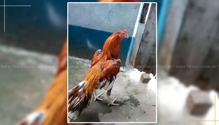 Ayam Wangkas Emas, Ciri Serta Kelebihannya!