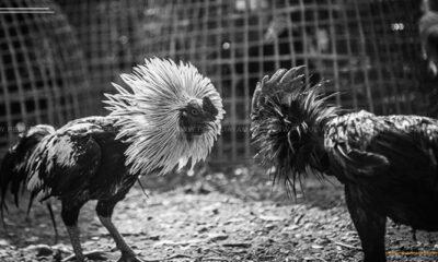 Mematahkan Stigma Tentang Hobi Ayam Dari Judi