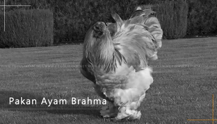 Pakan Khusus Untuk Ayam Brahma
