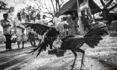 Ciri Ayam Aduan Yang Tidak Boleh Bertarung